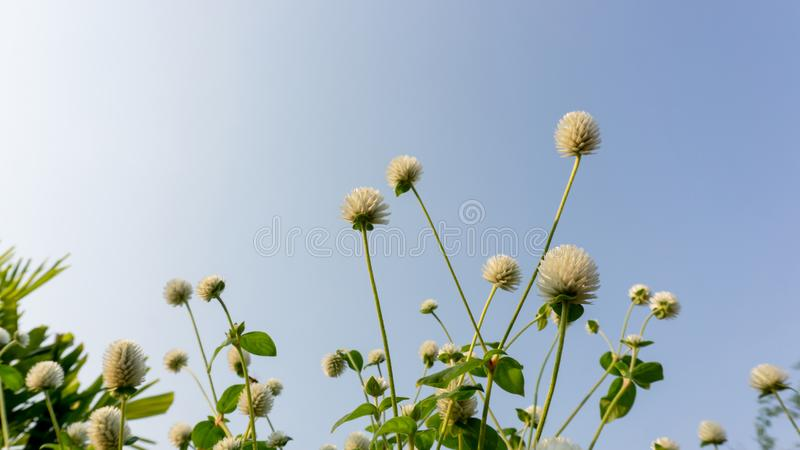 Branches of white petals of Pearly everlasting flower blossom on greenery leaves under blue sky, know as Bachelor`s button. Globe amaranth, makhmali and royalty free stock photography
