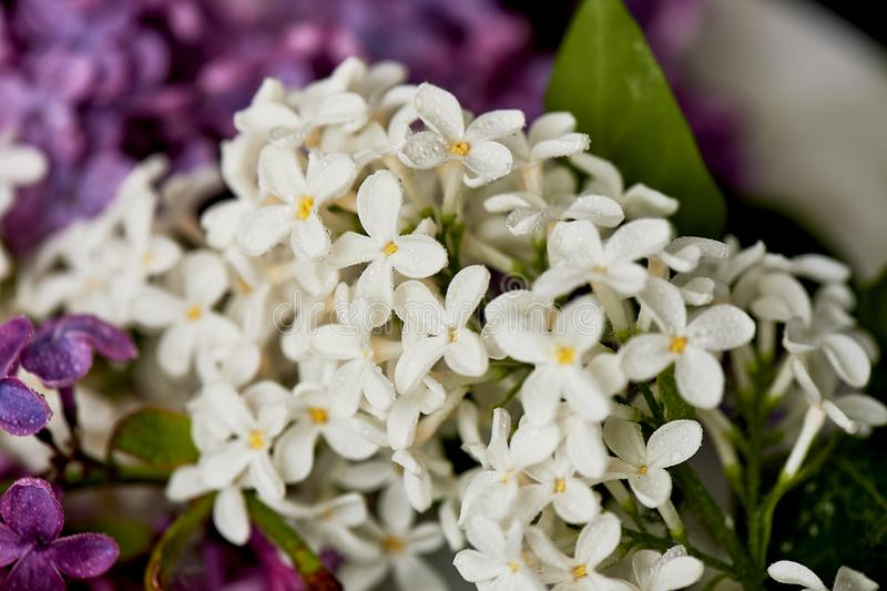 Branches of white and purple lilac.Natural wealth. stock photo