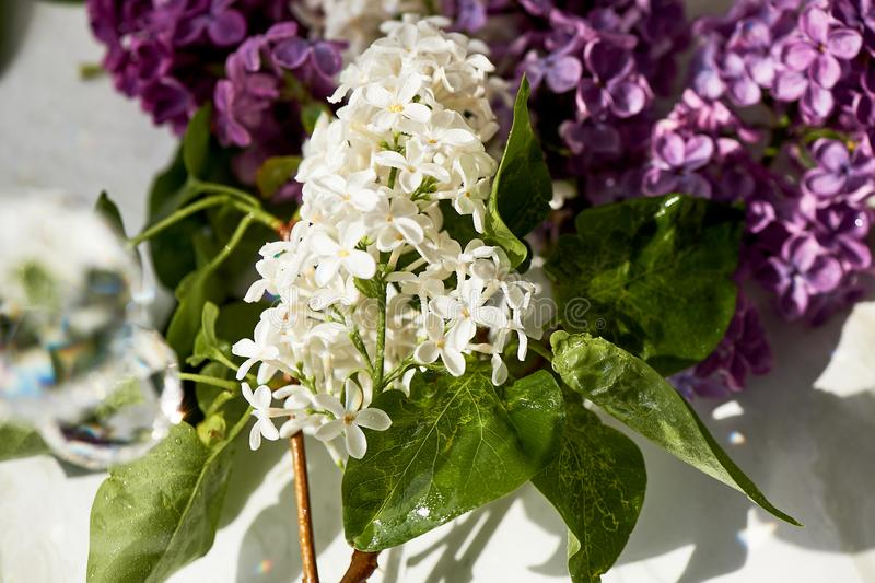 Branches of white and purple lilac.Natural wealth. stock images