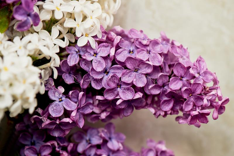 Branches of white and purple lilac.Natural wealth. royalty free stock photography