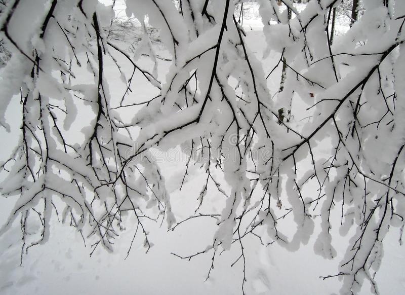 Branches and white snow royalty free stock image