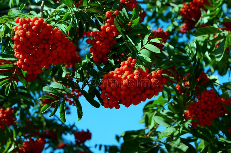 The branches of wild ash are generously decorated by the red clusters of berries. stock images