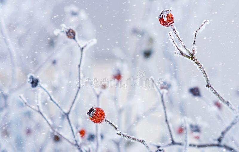 Branches of wild rose hips with red berries covered with hoarfrost in the winter garden. Shallow depth of field royalty free stock images
