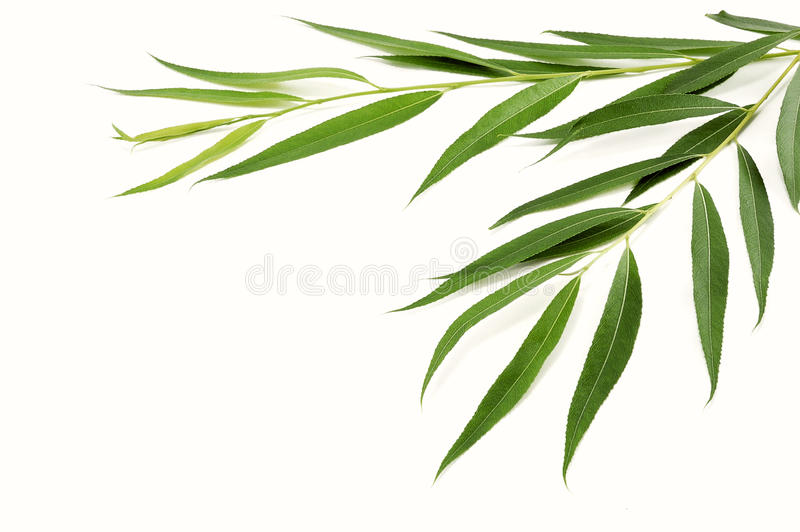 Branches of willow with green leaves royalty free stock photo