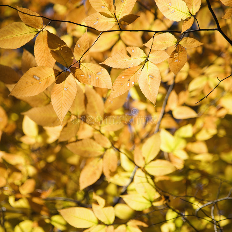 Branches of yellow foliage stock images