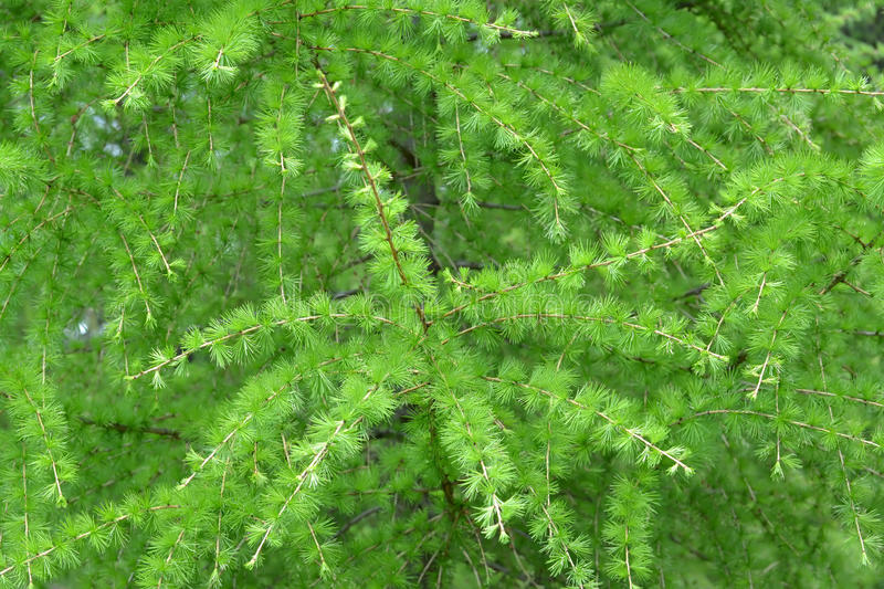 Branches with young green needles of a larch European (Larix decidua Mill.), background royalty free stock image