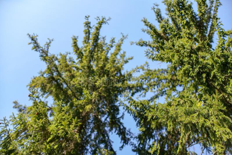 Branches of young spruce tree in spring against clear blue sky, shallow depth of field photo only few parts in focus royalty free stock photo