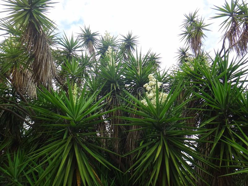 Branches of the yucca plant stock photo