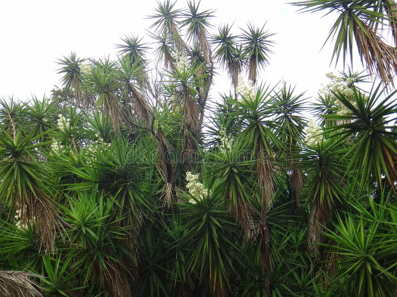 Branches of the yucca plant royalty free stock image