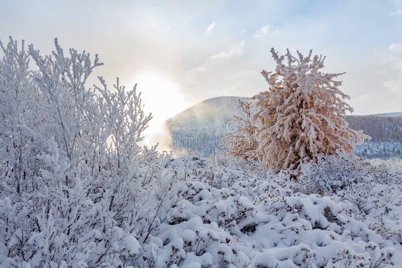 Branchi di cespugli e di anarchia gialla ricoperti di fiocchi di neve freschi con nebbia sullo sfondo fotografie stock libere da diritti