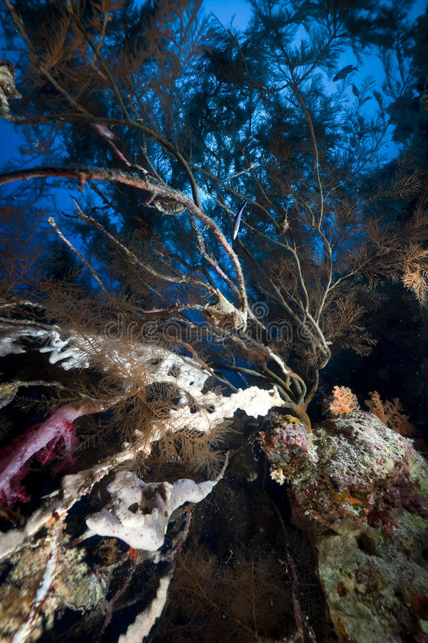 Branching black coral and fish royalty free stock photography