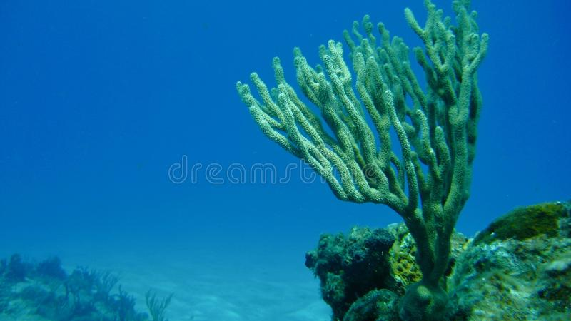 Branching Coral in the ocean. Image of a lone branching coral in the deep blue sea stock image