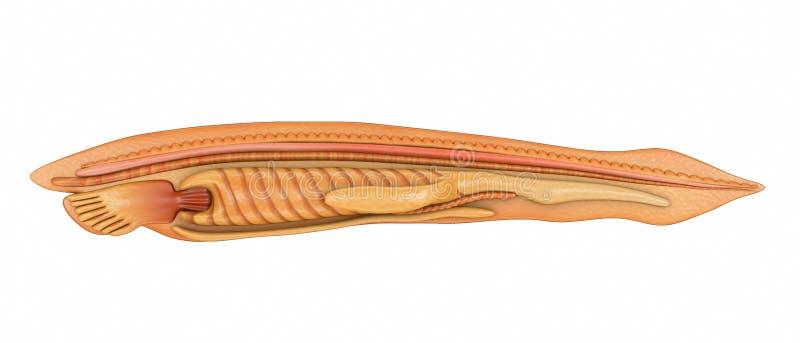 Branchiostoma Stock Photo  Image Of Lancelet  Blister