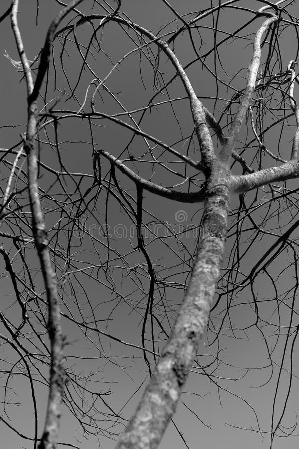 Branchs in bianco e nero immagine stock libera da diritti