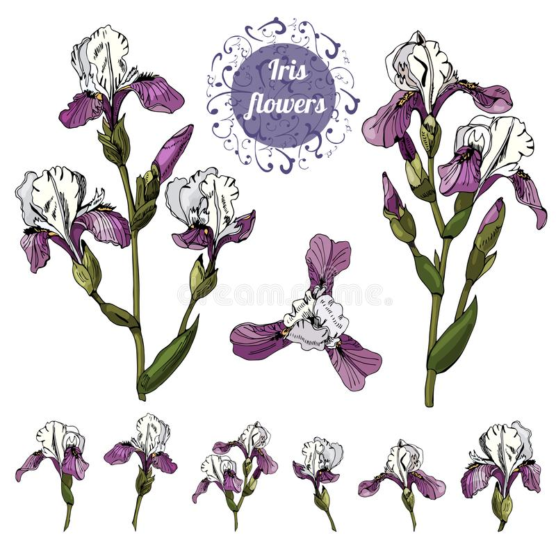 Branchs and single buds of iris flowers. Hand drawn ink and colored sketch. Collection of color  elements. Branchs and single buds of iris flowers. Hand drawn royalty free illustration