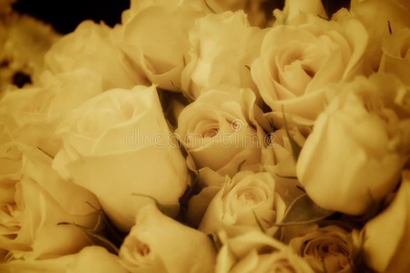 Branco antigo das rosas foto de stock