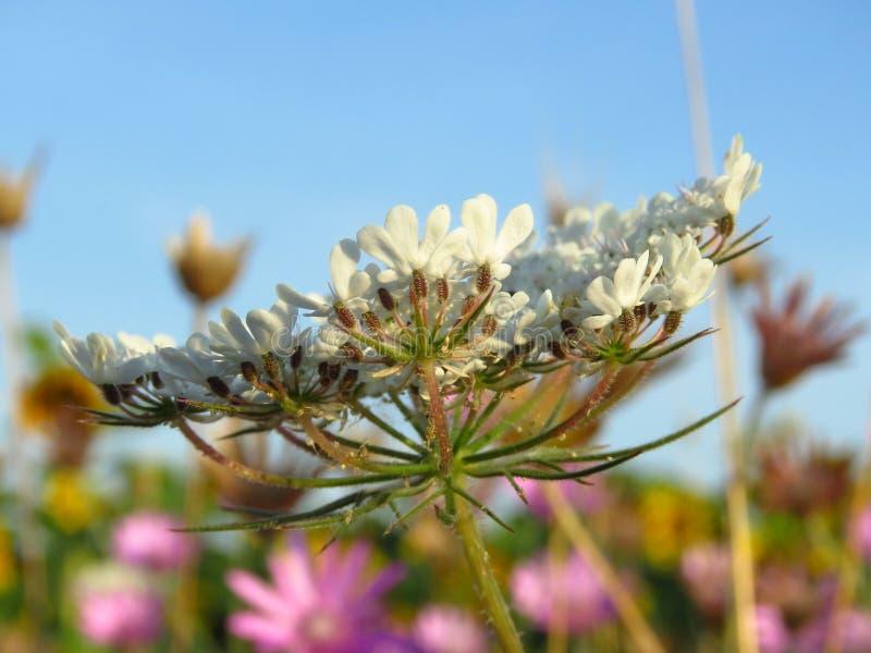 Branco bonito, rosa e flores roxas do prado contra o céu azul no nascer do sol em julho Apropriado para o fundo floral fotografia de stock royalty free