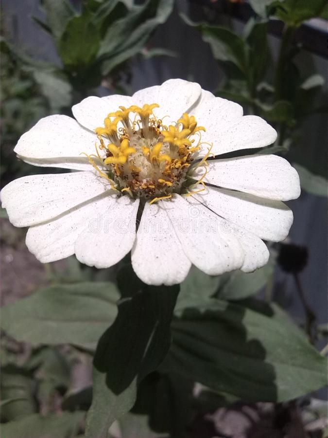 Branco da flor de Sun imagem de stock royalty free