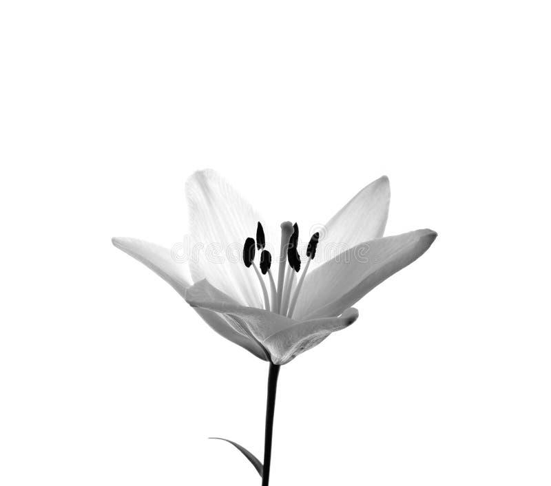 Branco de Lilly fotografia de stock