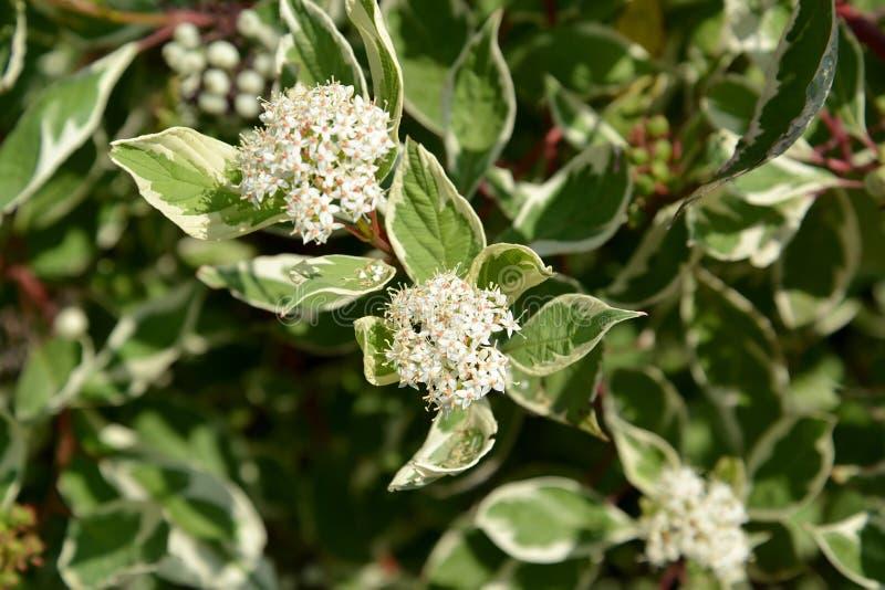 Branco de Svidina & x28; Derain, é o twisted& x29; poecilophyllous & x28; Cornus & x28; Swidina& x29; L alba & x22; Variegaya& x2 fotos de stock