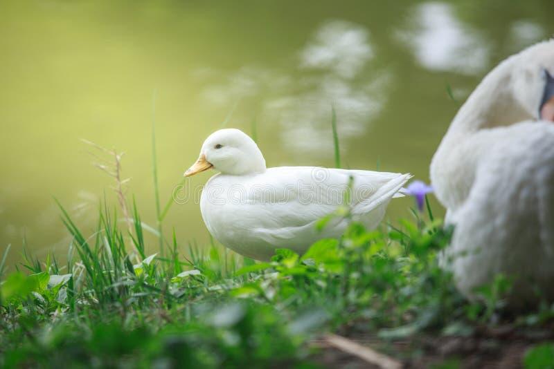 Branco do pato fotos de stock royalty free