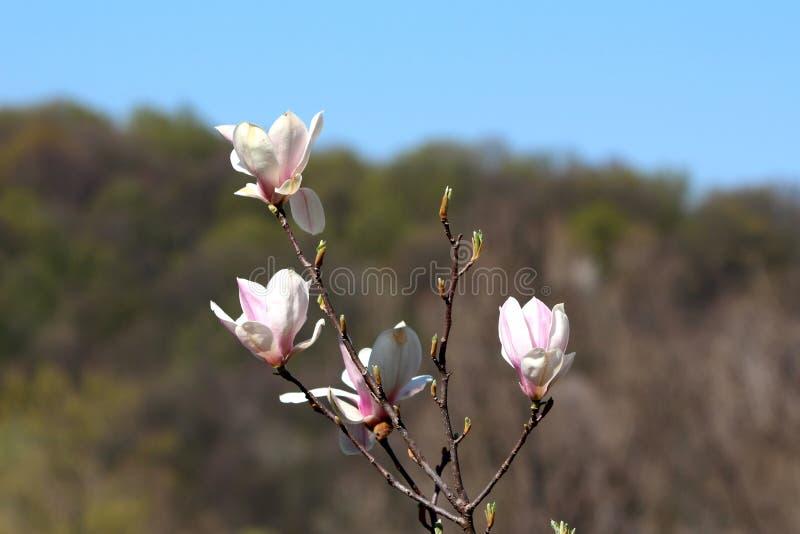 Branco e claro - flores roxas da magnólia das pétalas sobre ramos de árvore múltiplos com floresta e o céu azul claro no fundo fotografia de stock royalty free