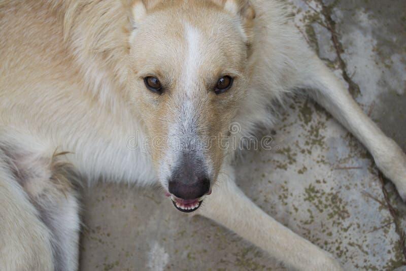 Branco e fim do cão do lobo da canela acima do retrato ao sorrir imagem de stock
