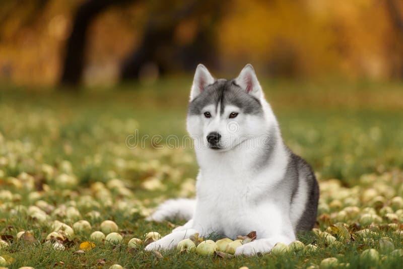 Branco e Gray Adult Siberian Husky Dog ou cão de puxar trenós de Sibirsky imagens de stock