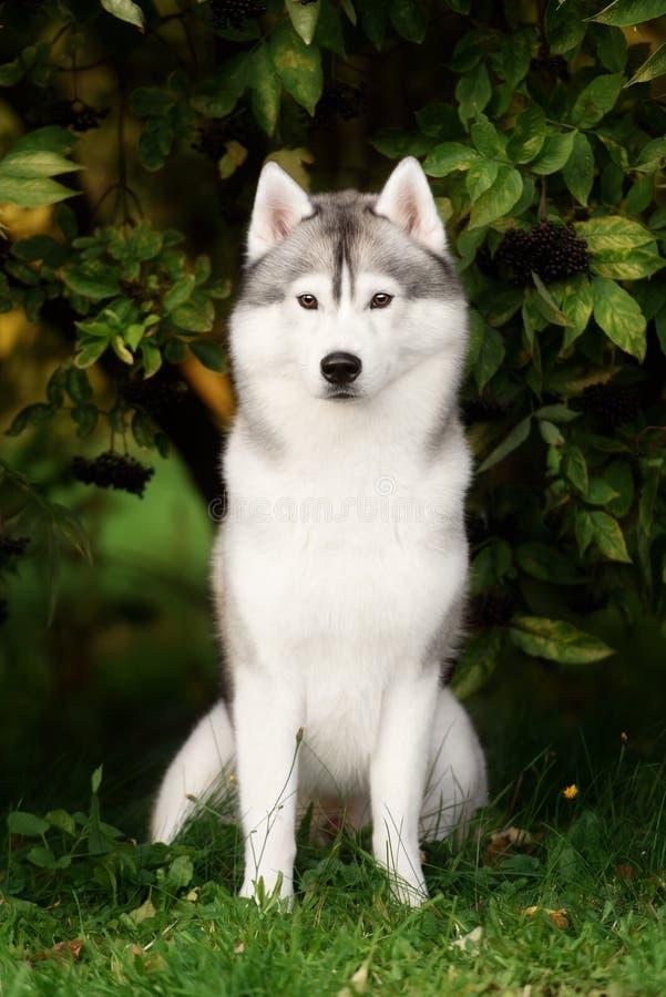 Branco e Gray Adult Siberian Husky Dog ou cão de puxar trenós de Sibirsky imagem de stock
