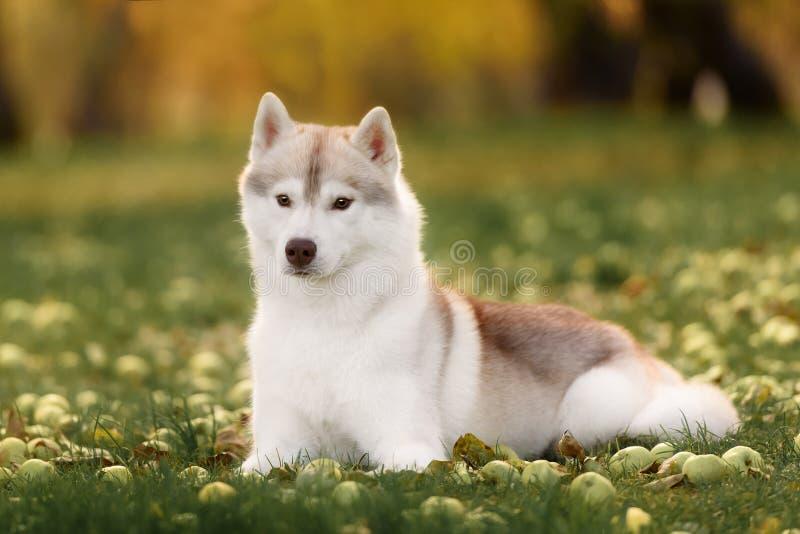 Branco e Gray Adult Siberian Husky Dog ou cão de puxar trenós de Sibirsky fotografia de stock royalty free