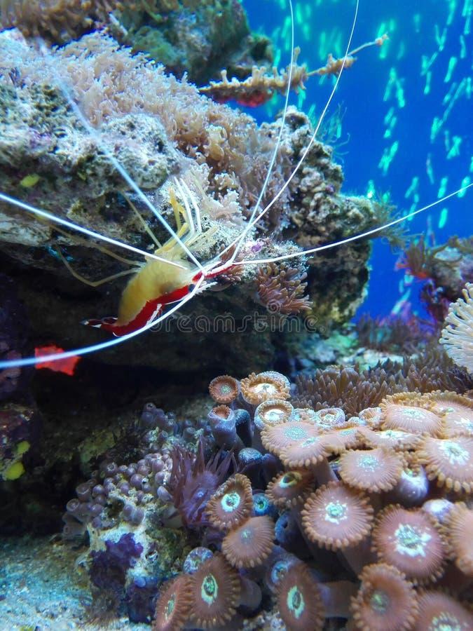 Branco e membro da família lido do camarão do mar fotografia de stock royalty free