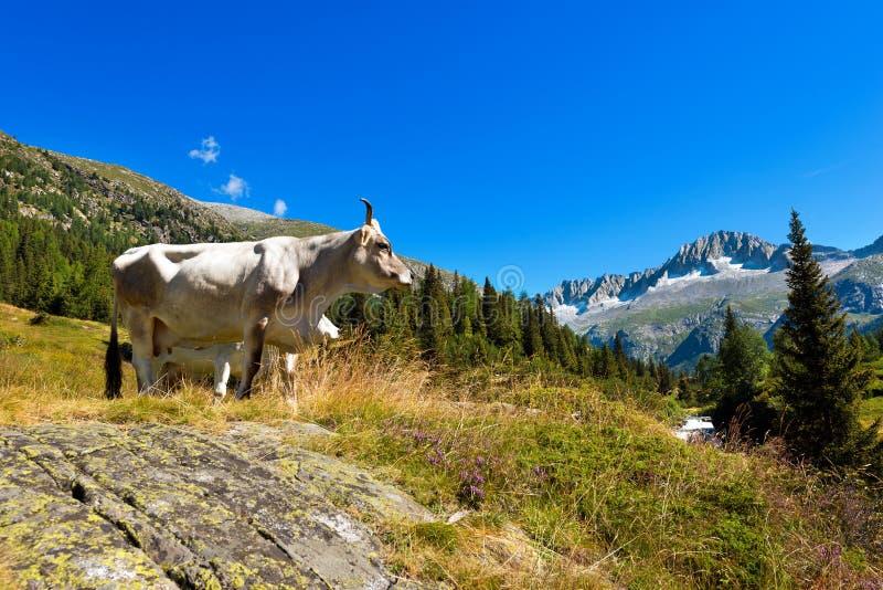Branco e vaca de Brown na montanha alta imagens de stock