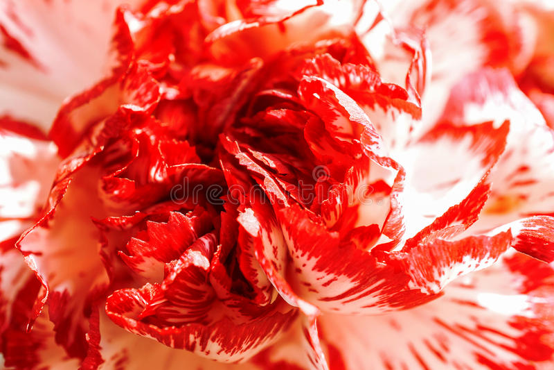 Branco exótico e macro vermelho do cravo de Borgonha foto de stock