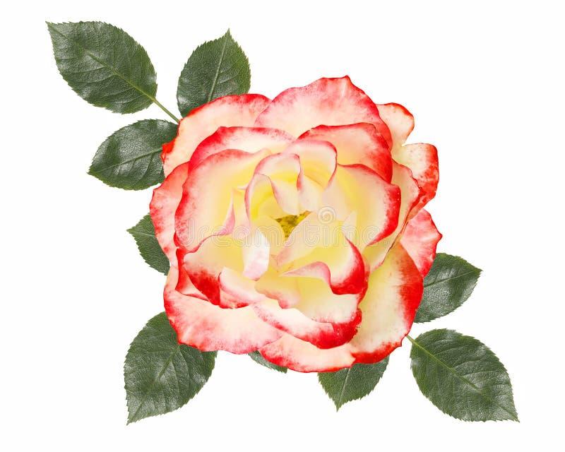 Branco, flor da rosa do rosa, isolada no fundo branco ilustração royalty free