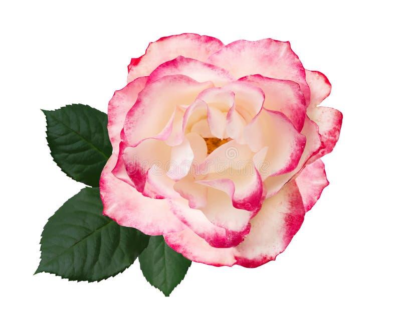 Branco, flor da rosa do rosa, isolada no fundo branco ilustração do vetor