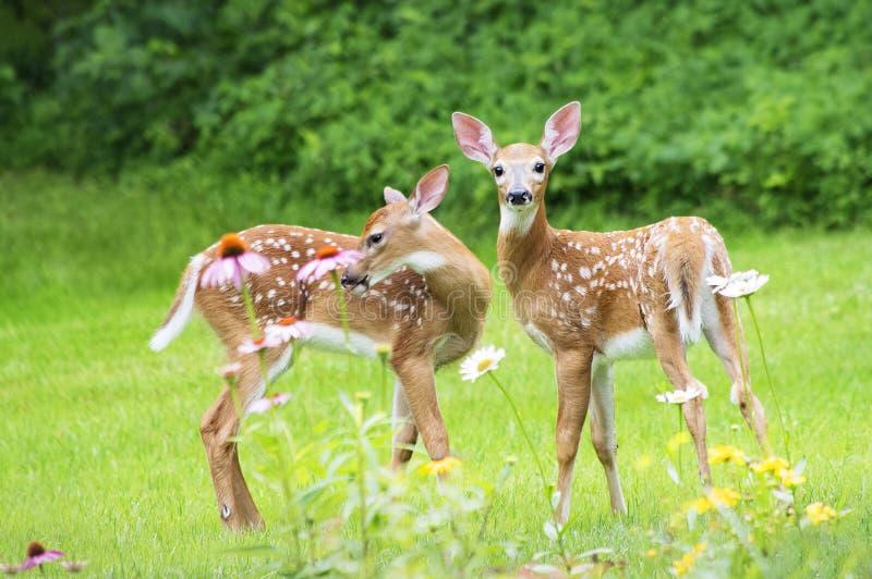 Branco gêmeo jovens corças atadas dos cervos foto de stock royalty free