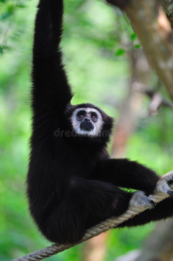 Branco - Gibbon entregue fotos de stock