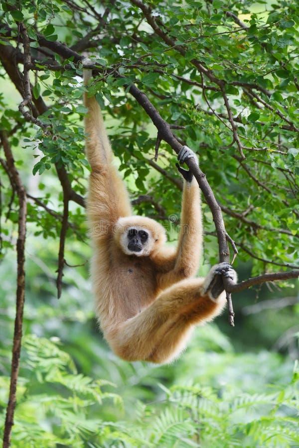 Branco-mão Gibbon imagem de stock