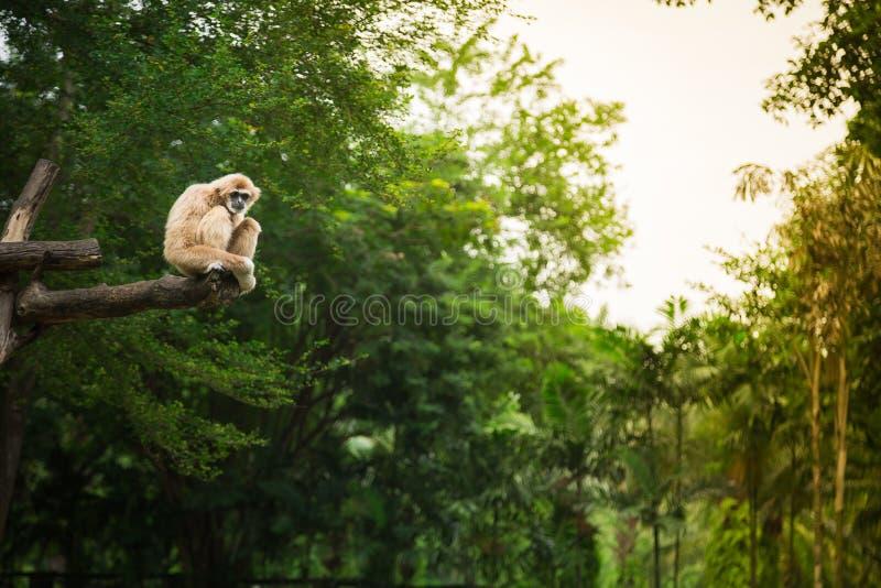 Branco-mão Gibbon que senta-se em uma árvore na selva do fundo foto de stock