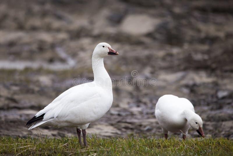 Branco-morph o ganso de neve que est? orgulhosamente com o bico enlameado ao lado do outro p?ssaro fotos de stock royalty free