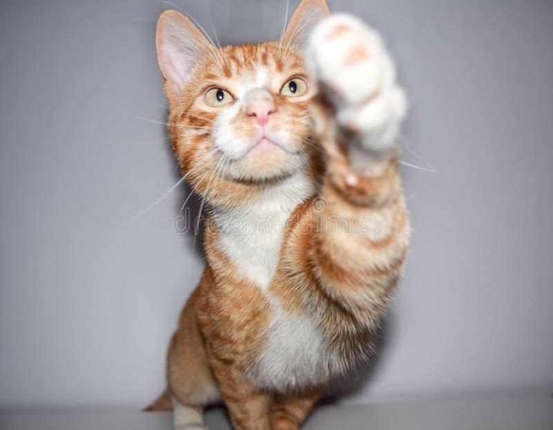 Branco pequeno e laranja do gato malhado da vaquinha fotos de stock