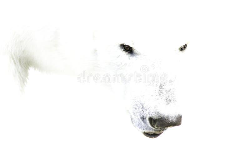 Branco polar foto de stock royalty free