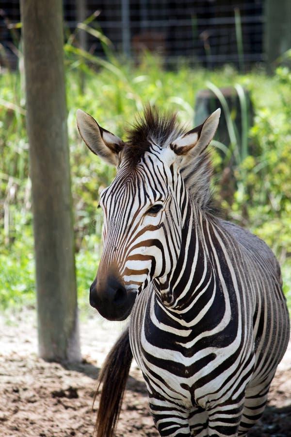 Branco preto e zebra de Brown imagem de stock royalty free