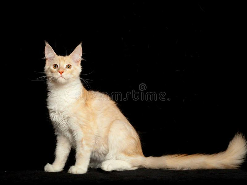 Branco russet do gatinho de Maine Coon imagem de stock
