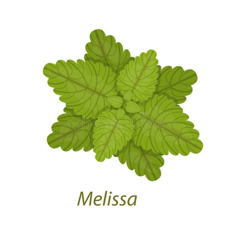 Branco saudável da planta medicinal da folha de Melissa isolado ilustração do vetor
