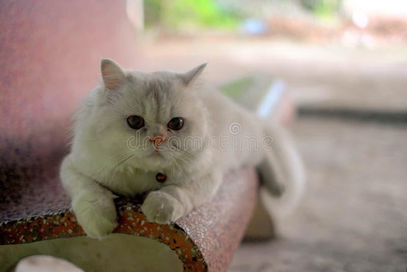 Branco um fim do persa do gato acima do retrato imagens de stock