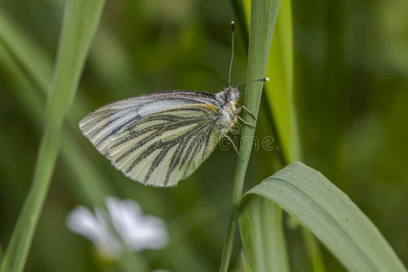 branco Verde-veado (napae do Pieris) fotografia de stock