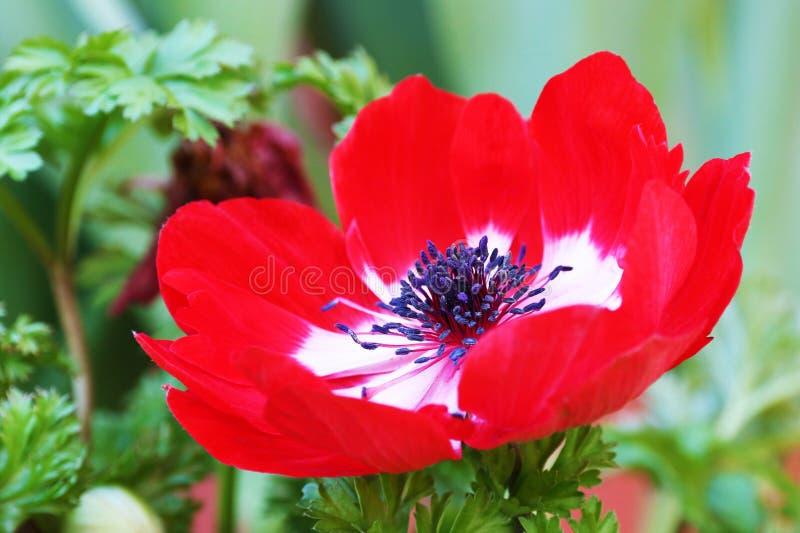 Branco vermelho da flor vermelha do coronaria da anêmona imagem de stock royalty free