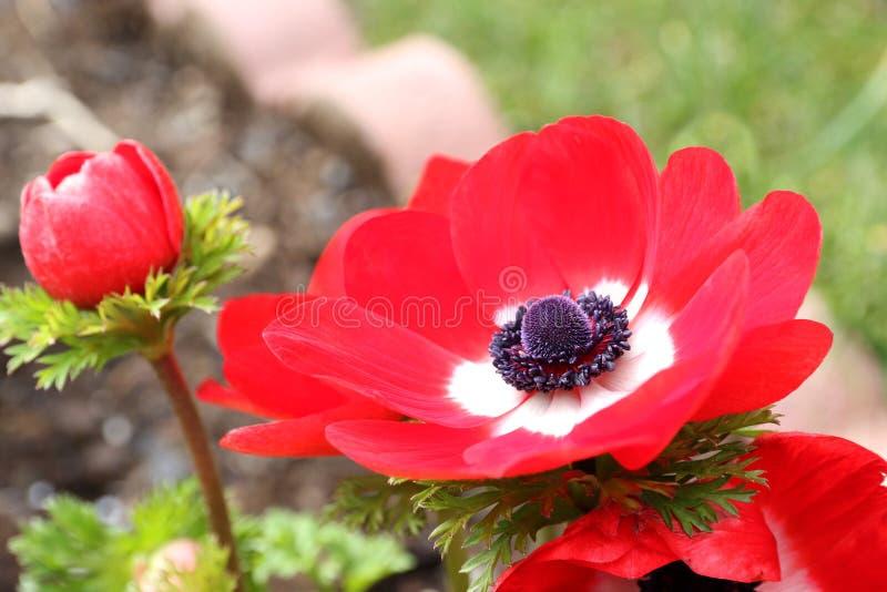 Branco vermelho da flor vermelha do coronaria da anêmona fotografia de stock