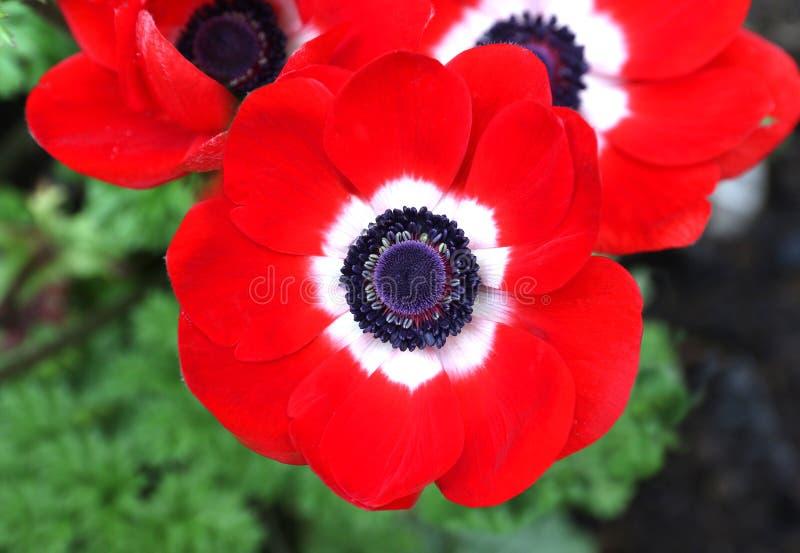 Branco vermelho da flor vermelha do coronaria da anêmona imagem de stock